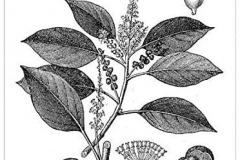 Sketch-of-Kamala-tree