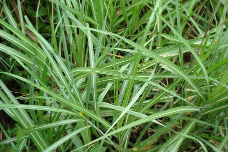 Leaves-of-Kans-grass