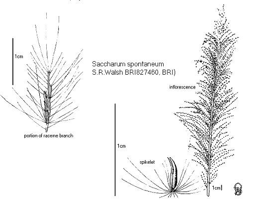 Plant-Illustration-of-Kans-grass
