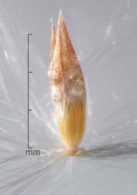 Seeds-of-Kans-grass