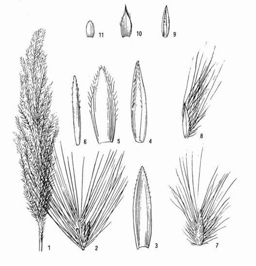 Sketch-of-Kans-grass