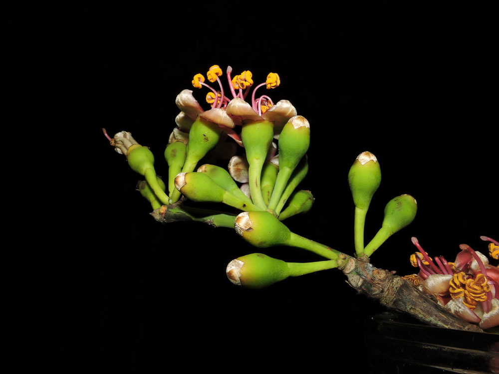 Flower-bud-of-Kapok