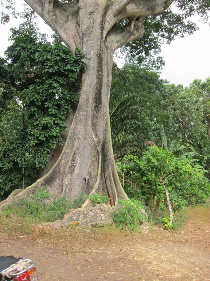 Kapok-trunk