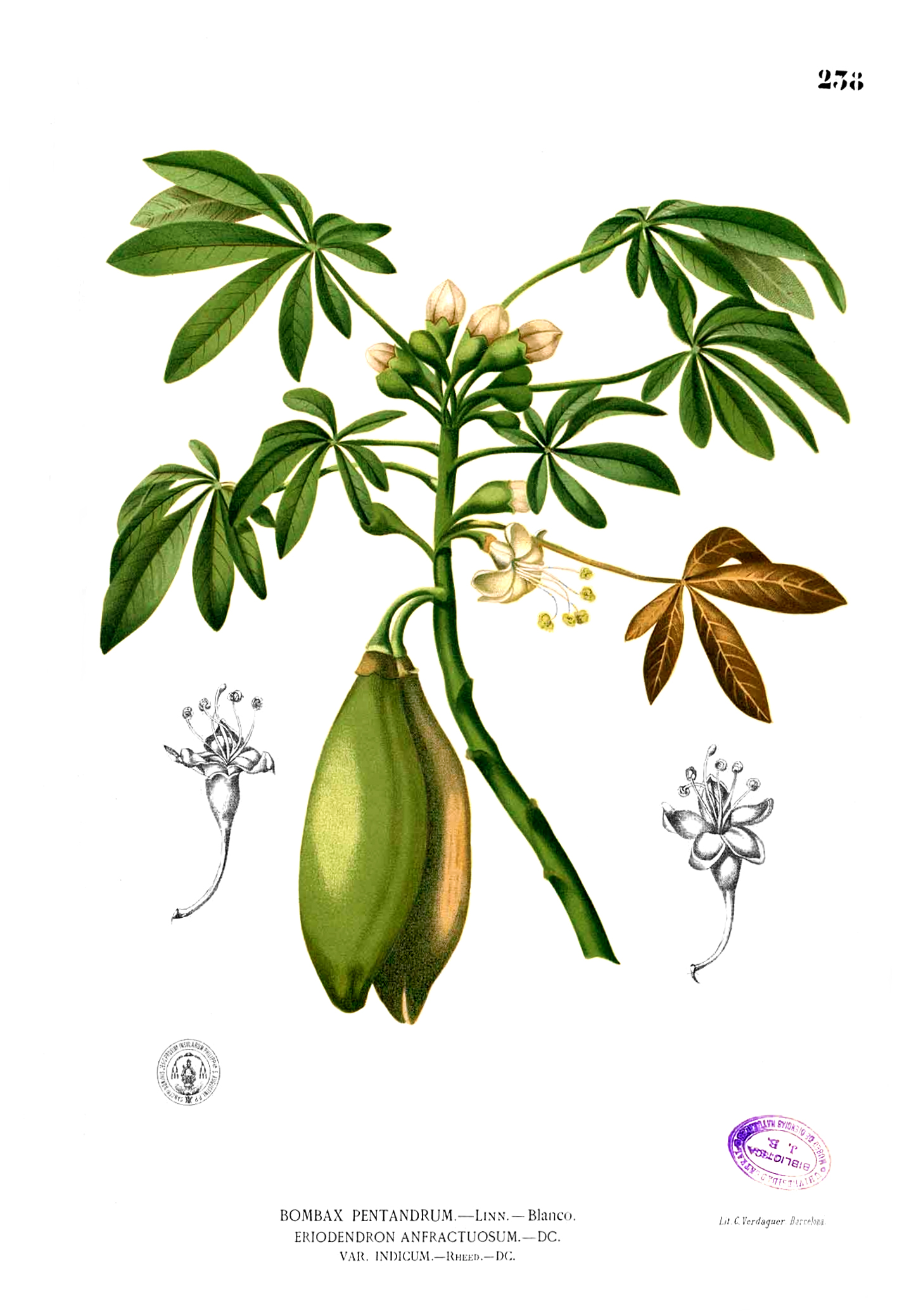 Plant-illustration-of-Kapok