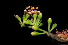 Flower-bud-of-Kapok