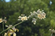 Flowers-of-Kapok
