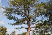 Kapok-tree