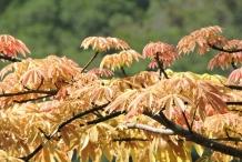 Young-leaves-of-Kapok