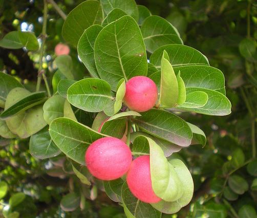 Image-showing-leaves-and-fruits-of-Karanda