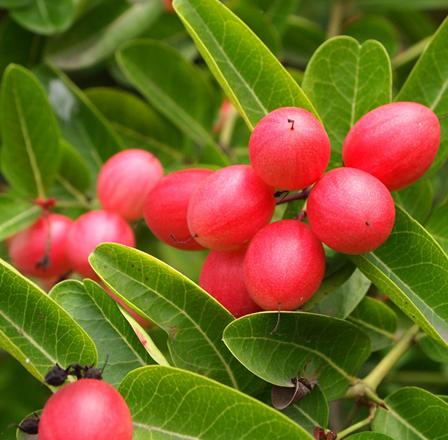 Karanda--fruit-on-the-tree