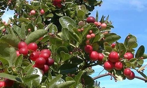 Karanda--plant