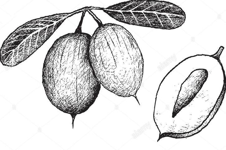 Sketch-of-Karanda-fruit