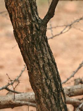 Trunk-of-Karanda-tree