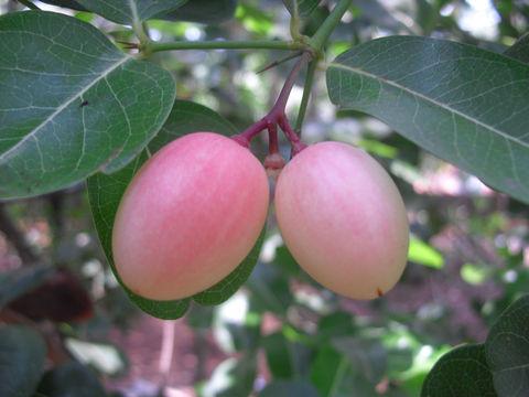 Unripe-Fruits-on-the-tree