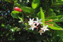 Karanda--Flower