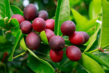 Ripe-Karanda-fruit-on-the-tree