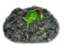 Young-Karanda--saplings