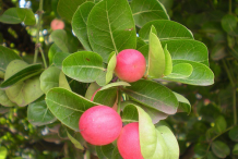Image-showing-leaves-and-fruits-of-Karanda