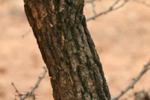 Trunk-of-Karanda-tree
