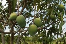 Unripe-Kalimantan-mango