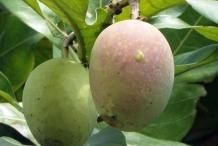 Kalimantan mango fruit