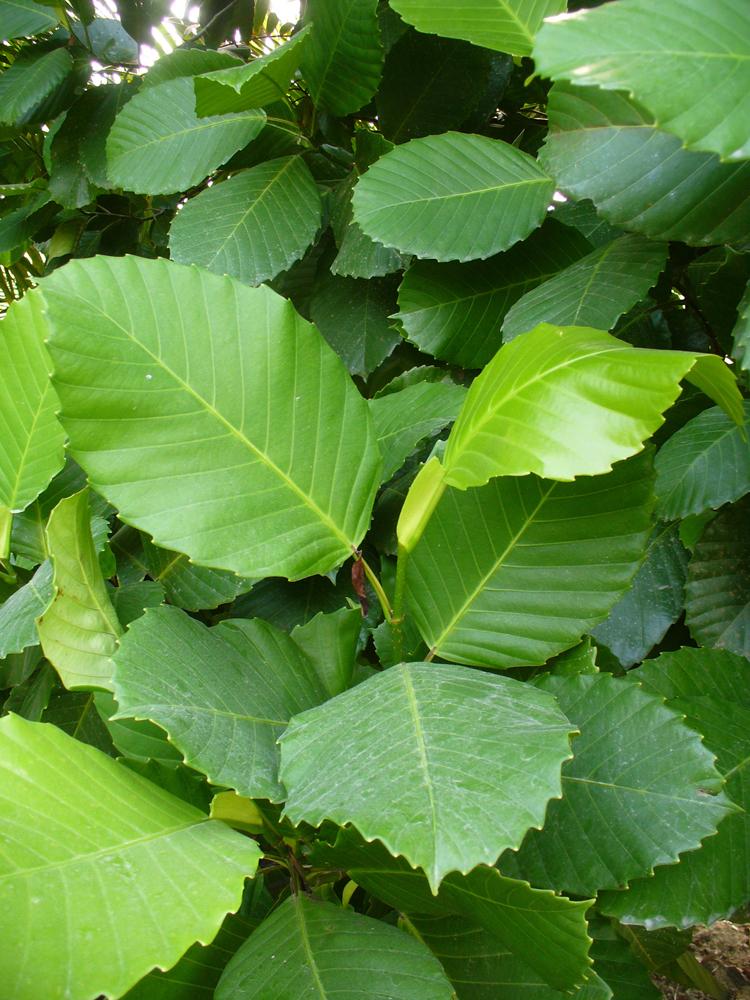 Katmon-leaves