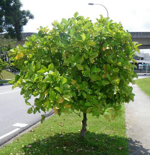 Katmon-tree