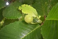 Katmon-fruit