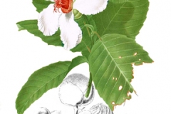 Plant-illustration-of-Katmon