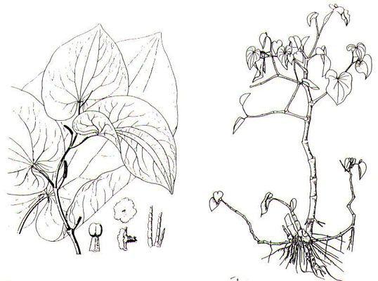 Sketch-of-Kava-plant