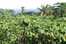 Kava-farming