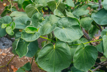 Leaves-of-Kava-plant