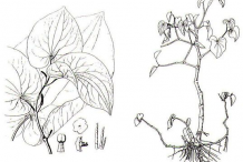 Sketch-of-Kava-plant