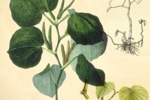 Plant-illustration-of-Kava