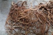 Kava-root