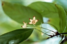 Close-up-flower-of-Kava