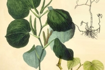 Plant-illustration-of-Kava