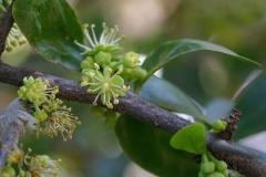 Flowers-of-Kei-apple
