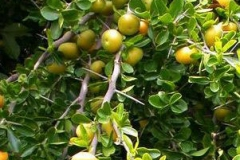 Kei-apple-tree