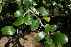 Leaves-of-Kei-apple