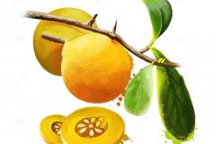 Plant-Illustration-of-Kei-apple
