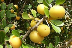 Ripe-Kei-apple-on-the-tree