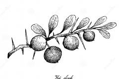Sketch-of-Kei-apple