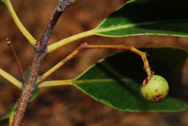 Fruit-of-Khat-plant