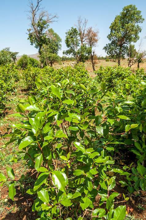 Khat-Plant