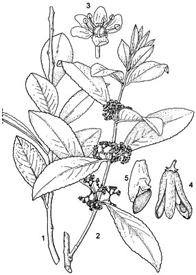 Plant-Illustration-of-Khat-plant