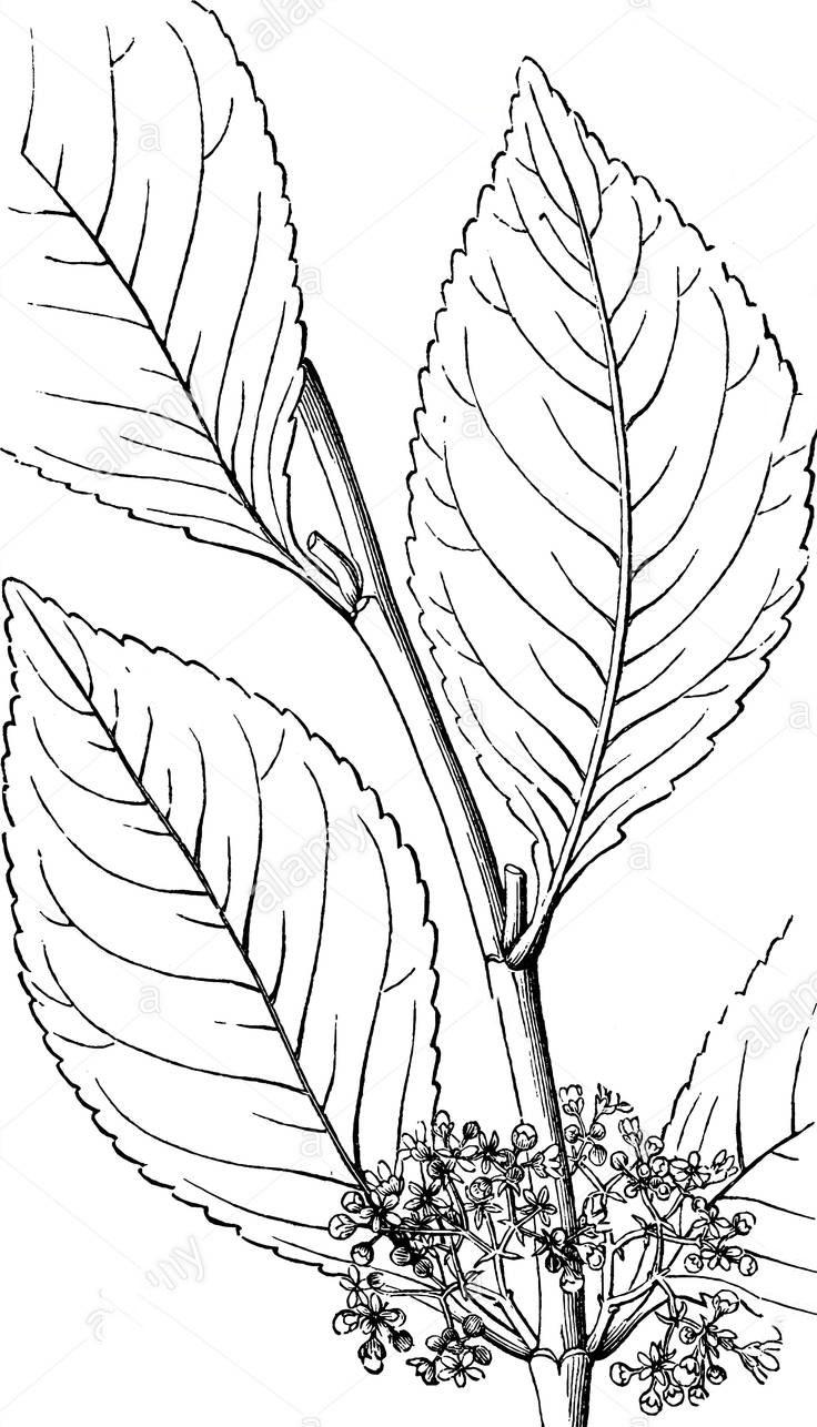 Sketch-of-Khat-plant