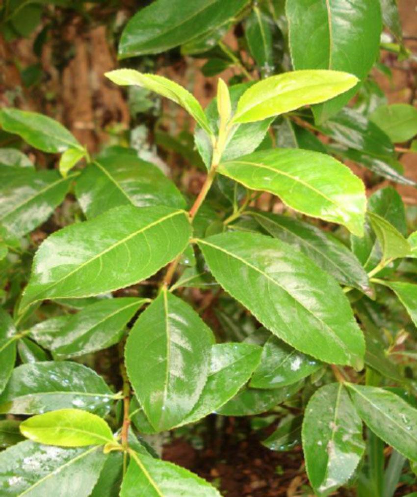 Tender-leaves-of-Khat-plant