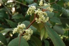 Flowers-of-Khat