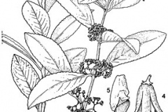 Plant-Illustration-of-Khat-plant